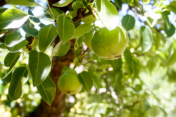 Pears from the orchard at Filoli