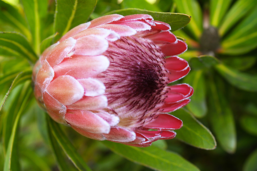 Protea 'Pink Ice' at the Strybing Arboretum in San Francisco