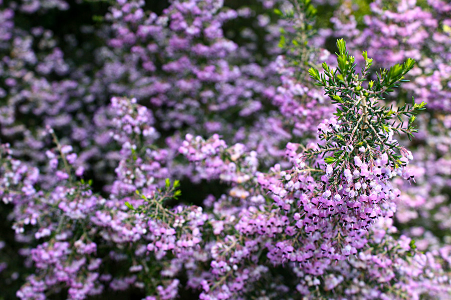 Erica cinerea, common heather, with purple flowers at the Strybing Arboretum in San Francisco