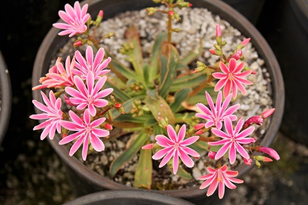 Lewisia with bright pink flowers at Rare Plant Research in Oregon.
