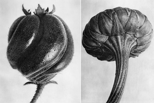 Black and white plant portrait photography by Karl Blossfeldt