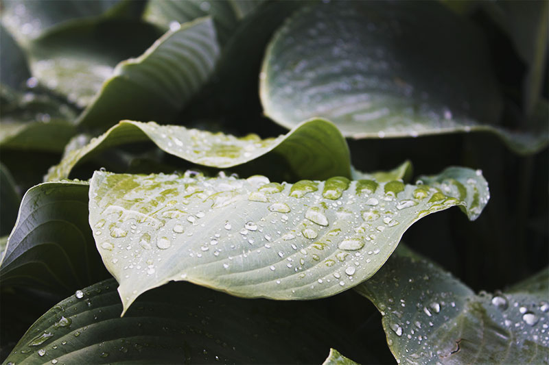 Rain on hosta leaves at the International Rose Test Garden in Portland, Oregon