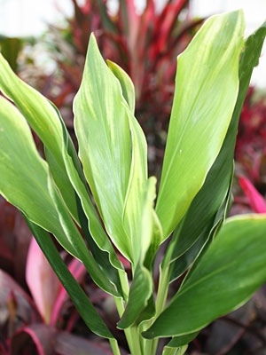 Ti Plant, Cordyline 'Lemon White'