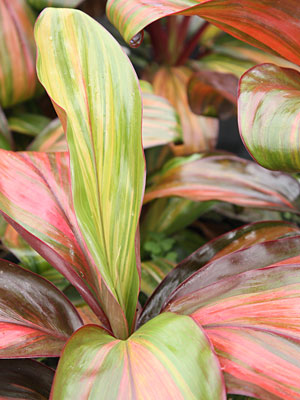 Ti Plant, Cordyline 'Morning Sunshine'