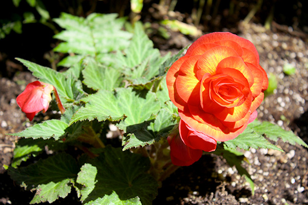 Orange and yellow tuberous begonias look like giant roses