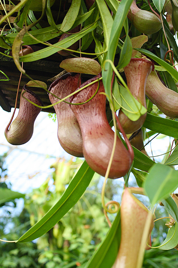 Nepenthes at the San Francisco Conservatory