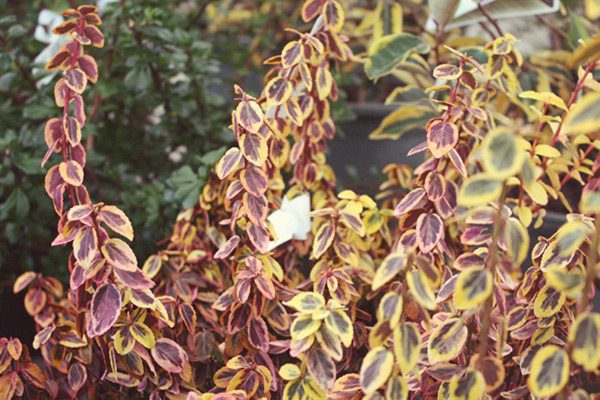 Colorful winter foliage of Euonymus fortunei 'Emerald N' Gold'.