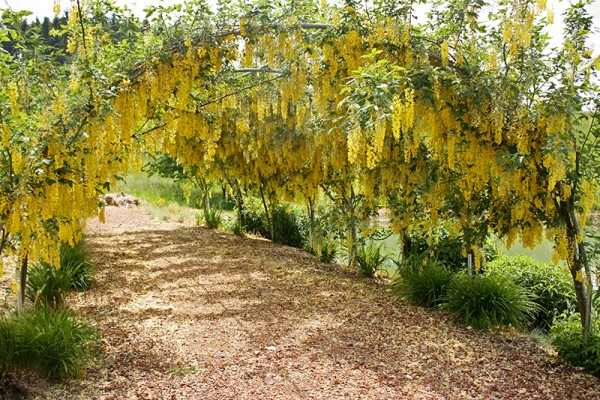 A tunnel of Laburnum watereri, or weeping golden chain, at Rare Plant Research in Oregon.