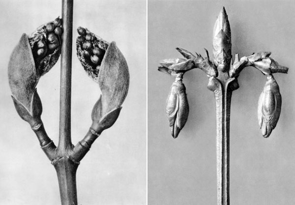 Black and white plant portrait photography by Karl BlossfeldtPP-Karl-Blossfeldt-Black-White-Plant-Photography-Flowers