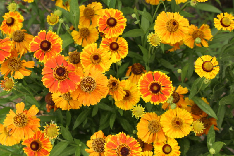 Mardis Gras helenium in orange and yellow