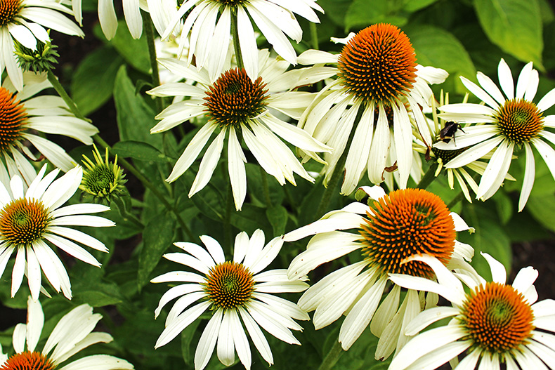 White echinacea coneflower at The Oregon Garden