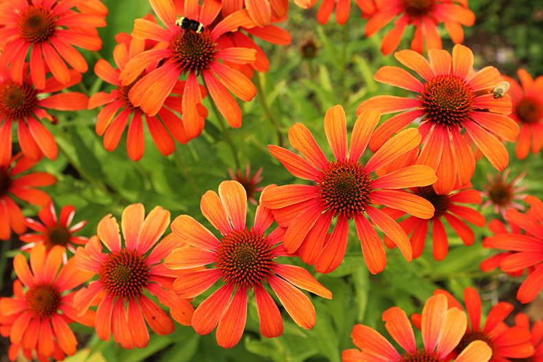Bright orange echinacea coneflower at The Oregon Garden